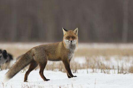 Red fox (Vulpes vulpes) in winter