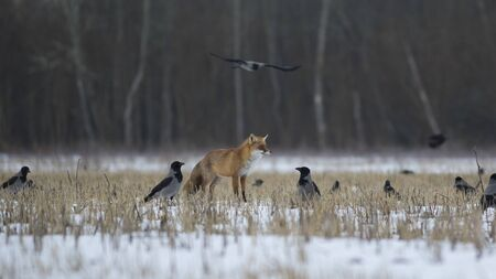 Fox among the crows in the winter