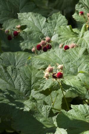 Japanese Raspberries