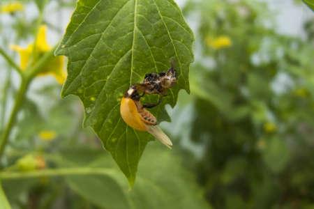 lieveheersbeestje volwassen uitbroeden Stockfoto