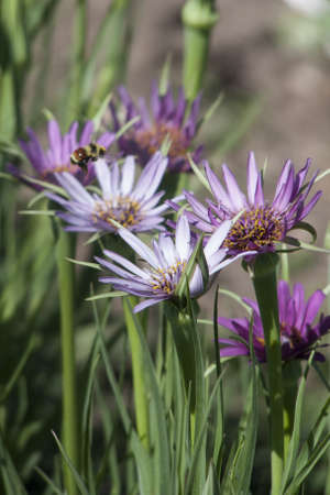 oyster plant: Salsify flower and Bumblebee