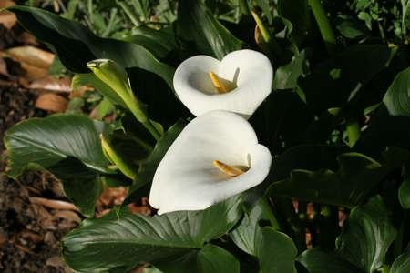 Two calla lillies in a garden