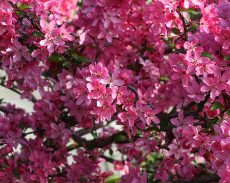 Dark pink flowers on a tree in the spring stock photo picture and dark pink flowers on a tree in the spring stock photo 910615 mightylinksfo