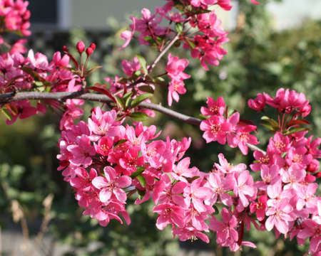 Pink flowers on a tree in the Spring Imagens