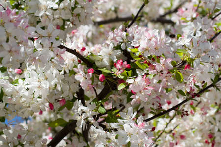 Flowering tree full of white and pink blossoms Banco de Imagens