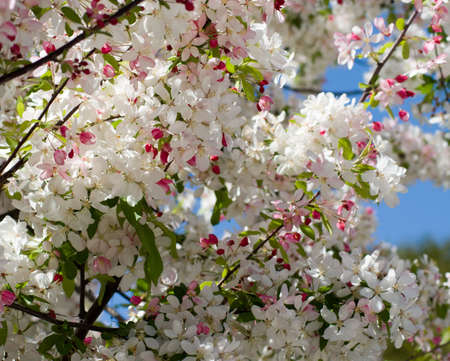 Flowering tree full of pink and white Spring blossoms Stock fotó