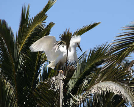 Snowy egret landing in the top of palm trees Stock Photo