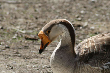 arched neck: Goose with neck arched, looking down