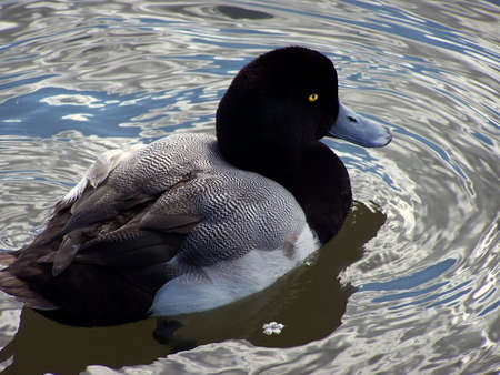 scaup: Greater scaup duck in a pond.  Notice the tiny flower floating beside it
