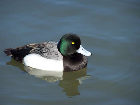 greater: Greater scaup duck just swimming along Stock Photo