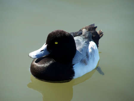 scaup: Greater scaup duck enjoying the sun