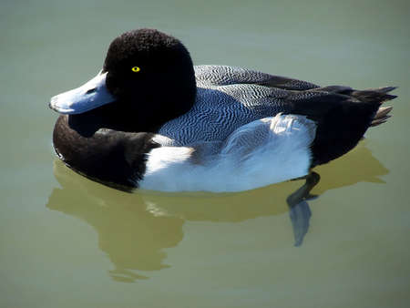 scaup: Greater scaup duck floating in a pond