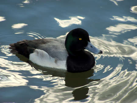 scaup: Greater scaup duck, swimming in a pond