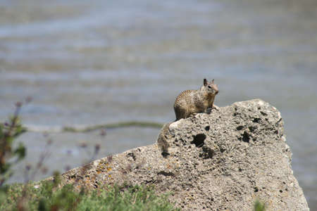 California ground squirrel sitting on a rock Banco de Imagens