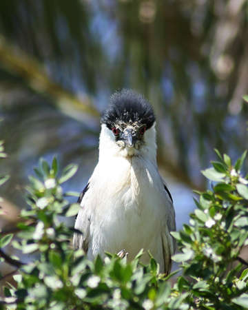 huffy: Black crowned night heron with ruffled feathers, looking rather annoyed Stock Photo