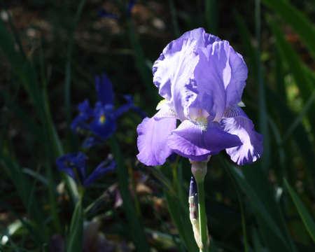Purple iris with dark background photo