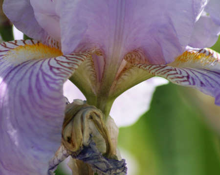 Close-up of a lavender iris photo
