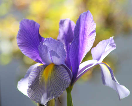 Purple iris with a yellow and blue background photo