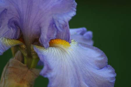 Close-up of a lovely purple iris photo
