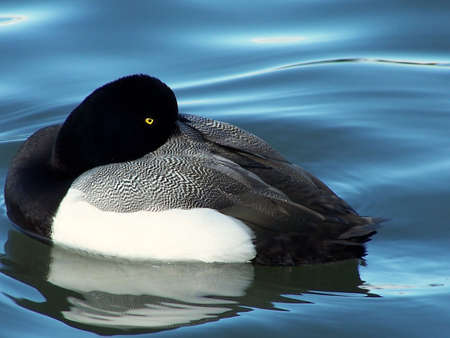 scaup: Greater scaup duck, with head tucked, trying to get some sleep