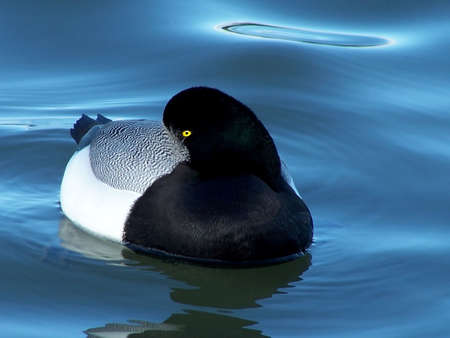 scaup: Greater scaup duck trying to get some sleep