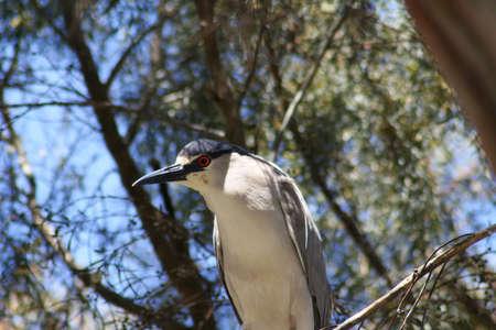 Black crowned night heron in a tree Stock Photo