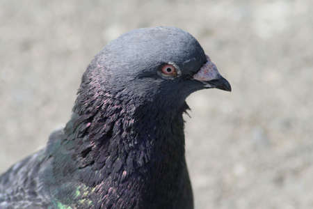 Close-up of a pigeon with rather intense eyes