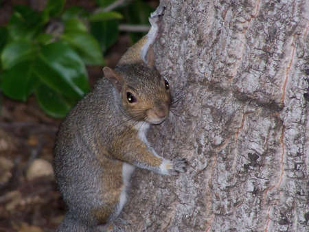 A surburban squirrel clinging to the side of a tree and looking directly at the camera