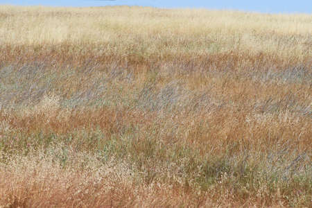 California hillside with drying grasses of many colors and just a strip of blue sky at the top.  Great for background Zdjęcie Seryjne