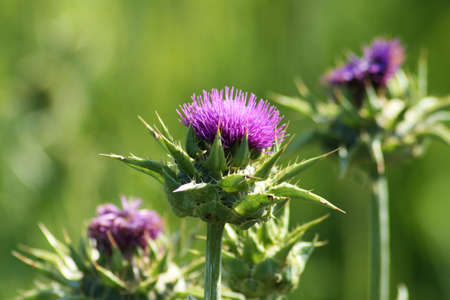 flowerhead: A close-up of a purple milkthistle flowerhead Stock Photo
