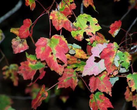Multicolored fall leaves against a dark background