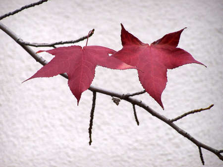 Two final red leaves clinging to a branch in the late fall 스톡 콘텐츠