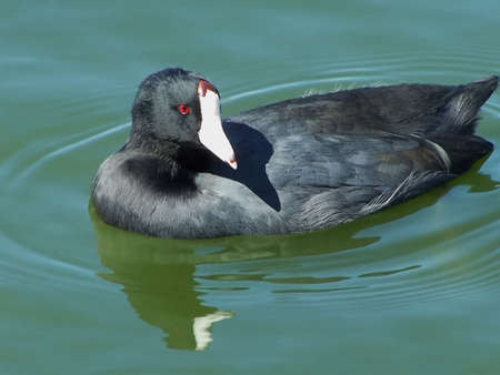 Common American Coot floating in a pond Zdjęcie Seryjne