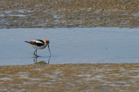 An American avocet, dipping its bill into the water, looking for food