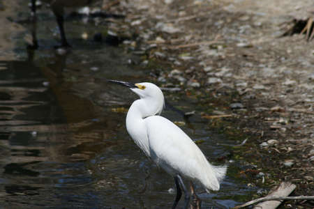 Snowy egret standing at the edge of a pond