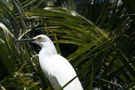 Snowy egret looking very noble while it sits in a palm tree