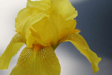 Close-up of a yellow iris with a gray background