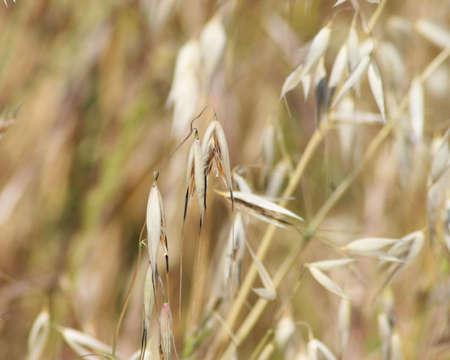 wild oats: Dry wild oats growing in a field Stock Photo