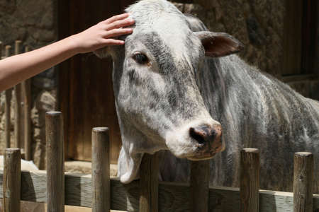 Portrait of a zebu with a hand reaching out to pet it on the head