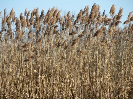 Reed Stockfoto
