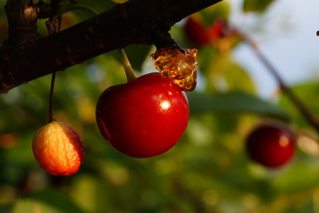 sour cherry: Ripe Sour Cherry Stock Photo