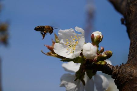 Bee en Cherry Blossom