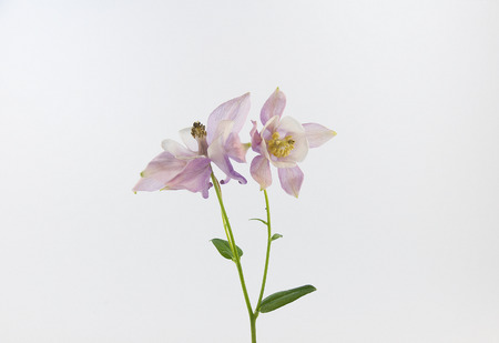 pale: pale purple flower