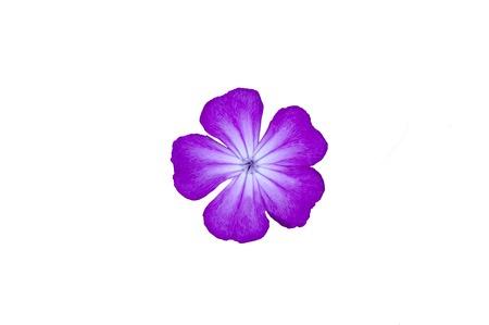 gentle: gentle violet flower