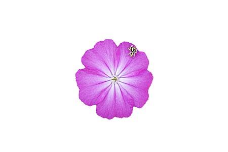 modesty: wild Carnation, isolated background