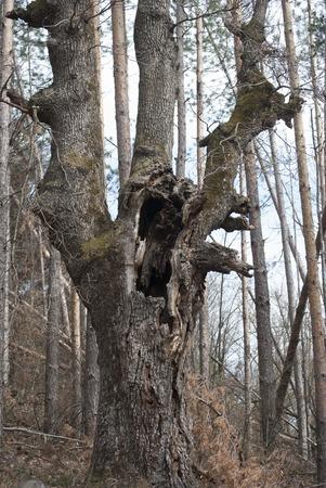 venerable: venerable tree