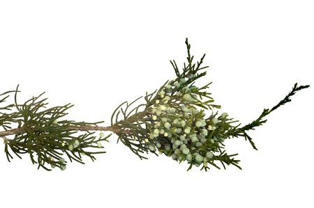 essences: sprig of juniper fruit