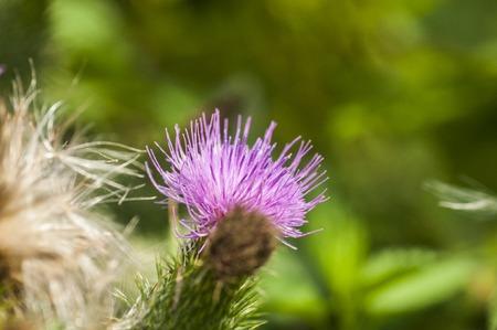 abscess: thistle herb