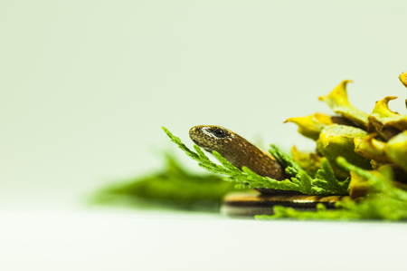 egyptian cobra: brown snake in a forest green cypress branch - on a white background