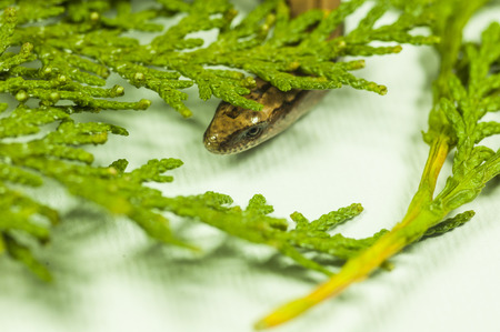 brown snake in a forest green cypress branch - on a white background
